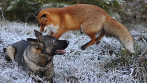 Ein Hund und ein Fuchs haben eine ungewöhnliche Freundschaft geschlossen