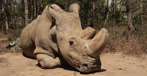 Sudan, letzter Nördlicher Breitmaulnashorn-Bulle ist tot