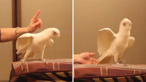 Dieser Papagei hat eine verrückte Reaktion auf klassische Musik!