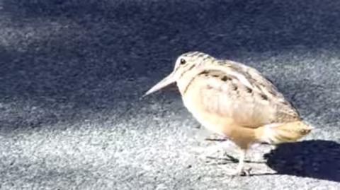 Dieser Vogel ist ein wahrer Dancing-Star
