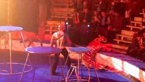Drama in russischem Zirkus: Tiger bricht zusammen und der Dompteur geht auf ihn los