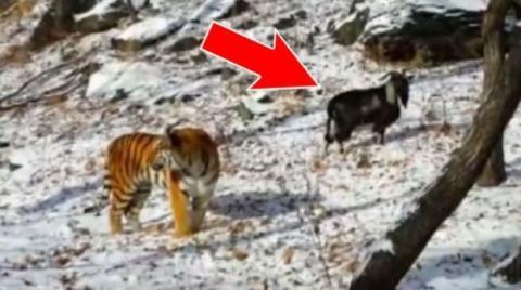Der Tiger Amur schließt Freundschaft mit einer Ziege, die eigentlich zum Fressen bestimmt war