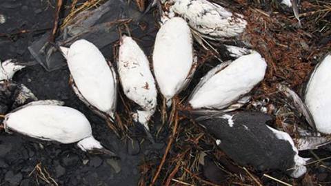20.000 Vogel-Leichen: Warum mussten die Trottellummen sterben?