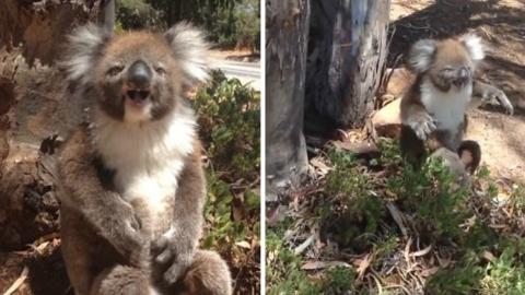 Ein Koala fängt an zu weinen, nachdem er von seinem Baum vertrieben wurde