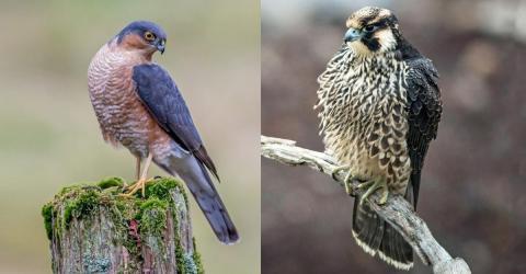 Warum sind Greifvogel-Weibchen größer sind als Männchen?