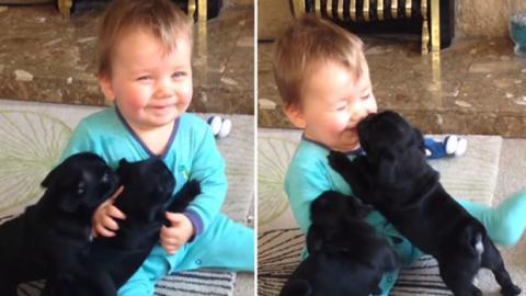 Zwei schwarze Welpen amüsieren sich wie verrückt mit diesem Baby.