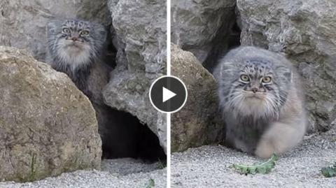 Diese Wildkatze ist Kameras nicht gewöhnt und verhält sich sehr ungewöhnlich, als sie eine zu Gesicht bekommt.