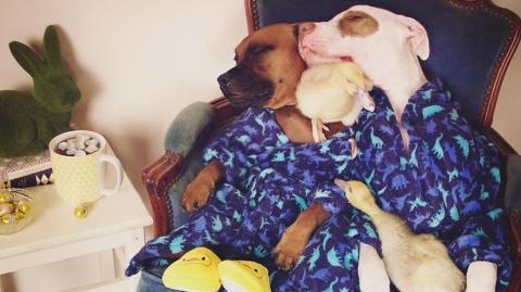 Zwei adoptierte Hunde werden ihrerseits Pflegeeltern von zwei Entenküken