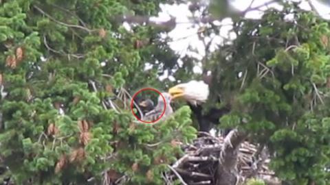 Ein Falkenküken als unerwarteter Gast im Nest einer Weißkopfseeadlerfamilie