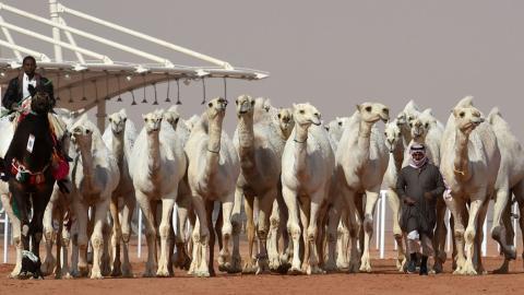König-Abdulaziz-Kamel-Festival in Riad (Saudi-Arabien): Kamele bei Schönheitswettbewerb disqualifiziert