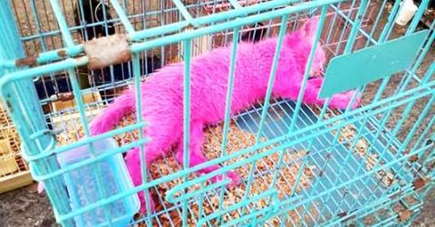 Mann färbt Kätzchen mit giftiger rosa Farbe, damit er es besser verkaufen kann