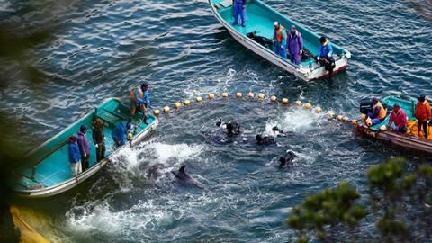 Jagd auf Delfine: Wegen einer Kuriosität ist die Delfinjagd in Japan immer noch legal