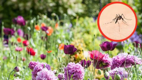 Diese Pflanzen in deinem Garten helfen bei Mückenstichen! (Video)