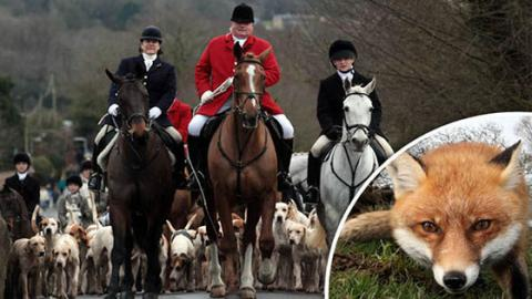 In Großbritannien wird eine grausame Tradition weiter ausgeführt, obwohl sie verboten ist