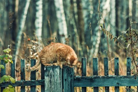 Entdeckung: Eine neue Katzenrasse wurde in der Wildnis entdeckt