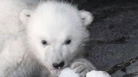 Kopenhagener Zoo: Warum die Geburt eines kleinen Eisbären keine gute Nachricht ist