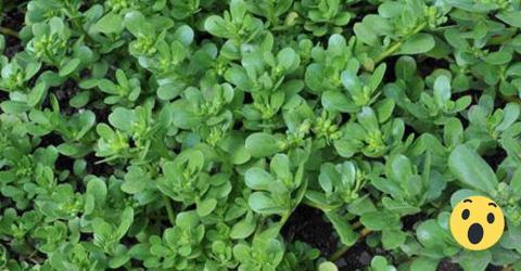 Diese Pflanze wuchert überall! Ärzte kennen die Wirkung auf unseren Körper!