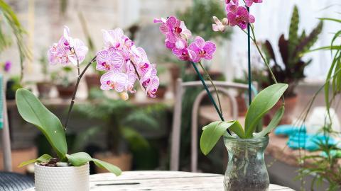 Mit diesem einfachen Trick hast du noch lange Freude an deinen Orchideen