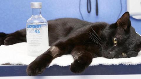 Katze mit Wodka abgefüllt, aber aus gutem Grund!