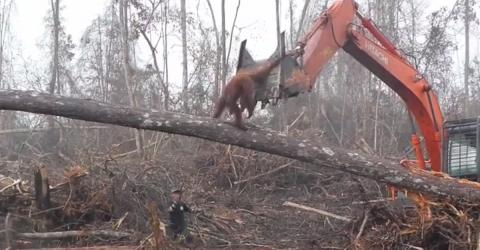 Sie filmen einen Orang-Utan in großer Verzweiflung. Wie kann der Mensch nur so grausam sein?
