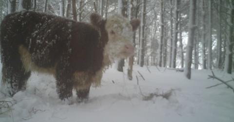Kalb flüchtet vor Schlachter in den Wald: Sein Schicksal ist bewegend