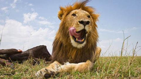 Löwen-Hunger: Grausiger Fund in Naturreservat in Südafrika