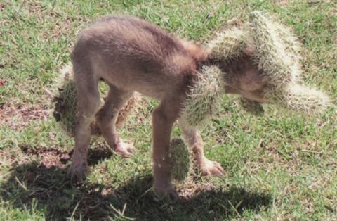 Welpe fällt in einen Kaktus, doch erst als er befreit wird, zeigt sich, was wirklich dahinter steckt!
