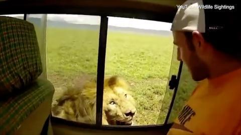 Ein lebensmüder Tourist versucht auf einer Safari, einen Löwen zu streicheln