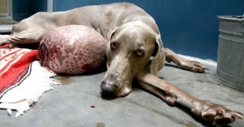 Sechs-Kilo-Tumor: Kann dieser Hund noch gerettet werden?