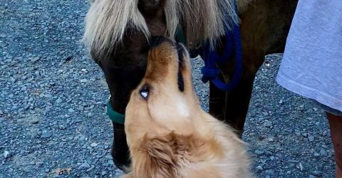 Dieser Golden Retriever bewahrt ein Mini-Pferd vor der Einschläferung