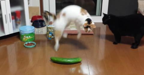 Warum sich Katzen zu Tode erschrecken, wenn sie eine Gurke sehen