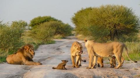 Löwen nähern sich einem hilflosen Fuchsbaby. Was sie mit ihm machen, ist unglaublich!