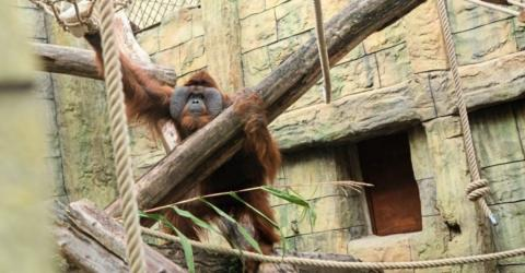Ein Orang-Utan kommt dieser Schwangeren unheimlich nah!