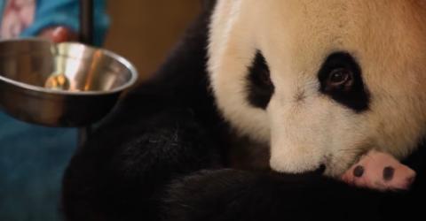 Wie gemein: Zoowärter verstecken ein Panda-Baby vor seiner Mutter!