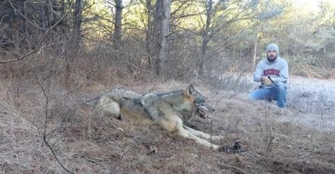 Wolf steckt mit Pfote in einer Falle fest und Mann mit Revolver nähert sich