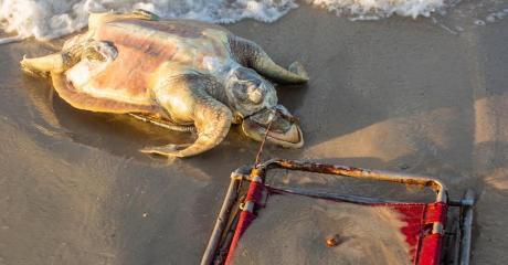 Durch menschliche Dummheit verendet eine vom Aussterben bedrohte Schildkröte am Strand