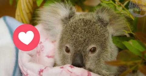 Der verwaiste kleine Koala Shayne kuschelt sich an eine Plüschmama
