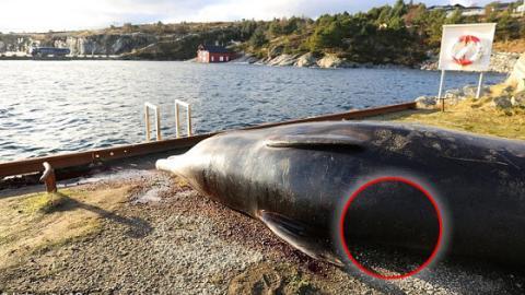 Im Magen eines in Norwegen gestrandeten Wals finden Forscher mehr als 30 Plastiksäcke!