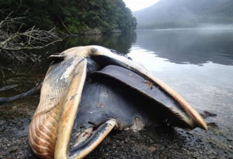 Mehr als 300 gestrandete Wale wurden tot aufgefunden