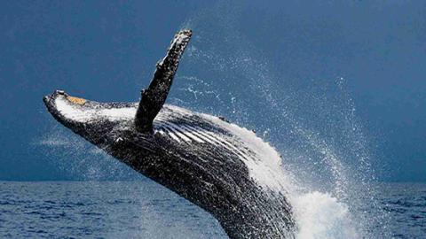 Japan trifft schwerwiegende Entscheidung mit verheerenden Folgen für die Wale