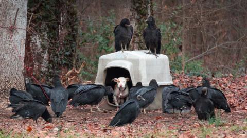 Schwarze Geier umkreisen Hündin im Wald. Tierschützer entdecken die traurige Wahrheit!