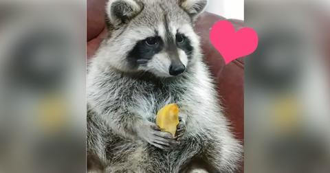Wie dieser Waschbär seinen Snack genießt, ist die entspannendste Sache, die ihr heute sehen werdet!