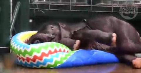 Der kleine Elefant trifft zum ersten Mal auf ein Planschbecken