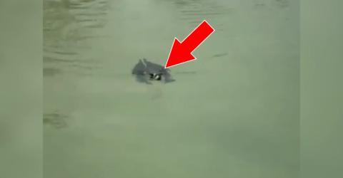 Eine Fledermaus im Wasser... Wer hätte gedacht, dass Fledermäuse so gut schwimmen können?