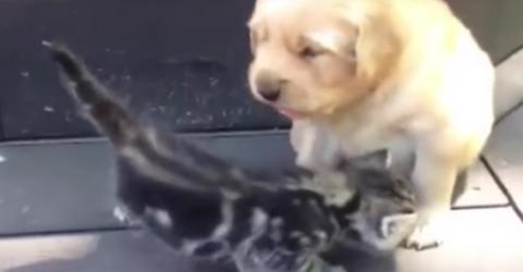 Dieses Kätzchen trifft zum ersten Mal auf den kleinen Golden Retriever Welpen! Seht euch die wunderbare Reaktion des Kleinen an!
