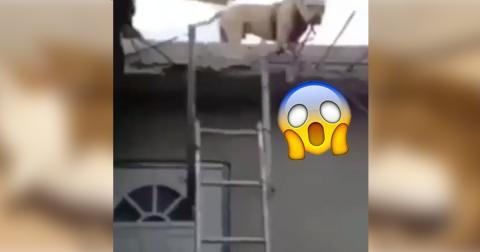 Dieser Pitbull steckt auf dem Dach des Hauses fest! Doch was er gleich macht, habt ihr noch nicht gesehen!