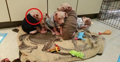 Eine Organisation rettet 4 kranke Welpen, die kein Fell mehr haben und deren Haut arg juckt. Schuld ist DIESES kleine Detail!