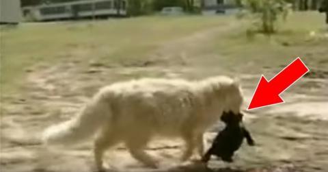 Eine Katze adoptiert einen Wurf junger Hunde, der von der Hundemutter verstoßen wurde