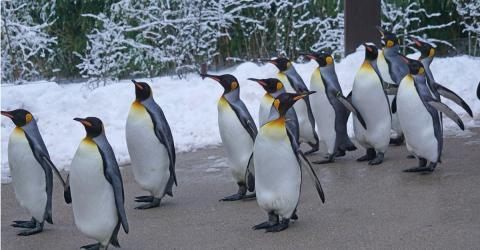 Zoo von Calgary (Kanada): Pinguine leiden unter Kältewelle