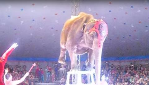 Weißrussland: Drama um Elefanten während einer Zirkus-Show